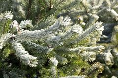 Frozen pine tree branches in winter. Close-up of Frozen pine tree branches in winter Royalty Free Stock Photo