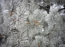 Frozen Pine Tree with cones. Close-up of frozen Pine Tree branches with cones. The long leaves are frozen, covered in white frost. The sky is gray, making the royalty free stock images