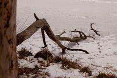 Frozen pine-tree Stock Image