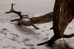 Frozen pine-tree 3 Stock Images