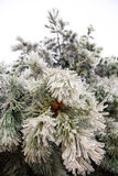 Frozen pine tree Stock Photography