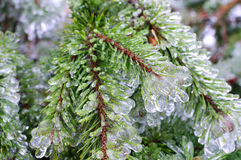 Frozen pine tree Royalty Free Stock Photography
