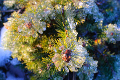 Frozen pine tree Stock Photos