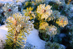 Frozen pine tree Stock Image