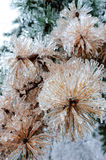 Frozen pine tree Royalty Free Stock Images