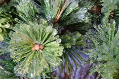 Frozen pine tree Royalty Free Stock Image