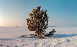 Frozen pine on winter field and blue sky. Sunrise Royalty Free Stock Photo