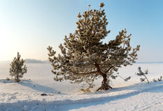Frozen pine on winter field and blue sky Royalty Free Stock Image