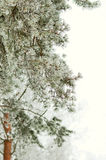 Frozen pine Royalty Free Stock Images