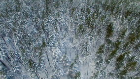 Frozen pines and fir trees in the snow in winter forest. Drone made footage. 4K stock video