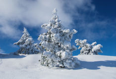 Frozen pines Stock Images