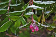 Frozen pink flower. Detail of frozen branch of bush. Branch with green leaves and pink flower-buds on the top covered with ice and little icicles stock images