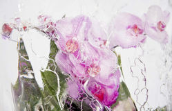 Frozen pink orchids 2 Royalty Free Stock Image