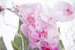 Frozen pink orchids Stock Images