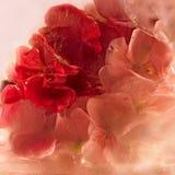 Frozen pink pelargonium flower Royalty Free Stock Image