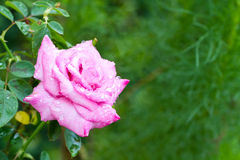 Frozen pink rose Royalty Free Stock Images