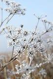 Frozen plant Stock Photography