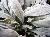 Frozen plant. Close-up of frozen plant royalty free stock photos