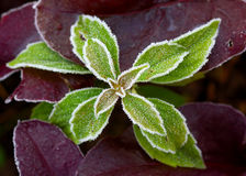 Frozen plant. Leaf of frozen plant edged by frost royalty free stock photography