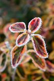 Frozen plant. Colorgame between a plant and freezing weather Stock Photography