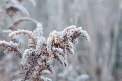Frozen plant covered with frost and snow of winter morning. Natural background. Royalty Free Stock Photo