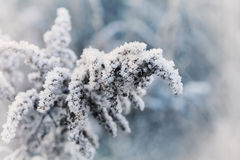 Frozen plant covered with hoarfrost of winter morning, macro nature background Royalty Free Stock Photos