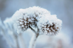 Frozen plant Royalty Free Stock Photo