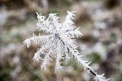 Frozen plant in meadow Royalty Free Stock Photos