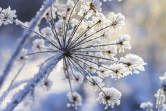 Frozen plant in morning close up in winter stock image