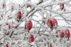 Frozen plant - rose hip Stock Photos