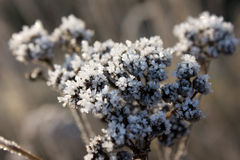 Frozen plant Royalty Free Stock Images