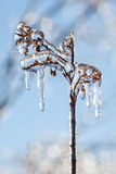 Frozen plant in winter. Plant life with icicles after a winter ice storm Royalty Free Stock Photos