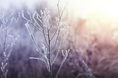 Frozen plant in winter. Stock Photography