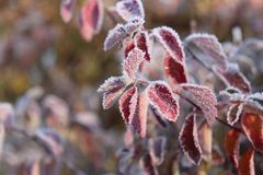 Frozen plants .The first frosts, cold weather, frozen water, frost and hoarfrost. Macro shot. Early winter background. Royalty Free Stock Images
