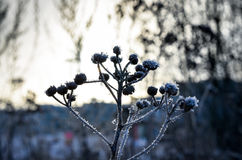 Frozen plants grown with ice crystals Stock Photography