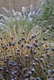 Frozen plants in morning garden. Frozen perennials and grasses in morning garden royalty free stock photo