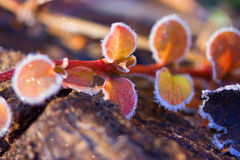 Frozen plants in winter with the hoar-frost royalty free stock images