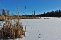A frozen pond with animal tracks surrounded by willows and bare forest in rural Nova Scotia. A frozen pond with animal tracks on the snowy surface under a blue Royalty Free Stock Photography