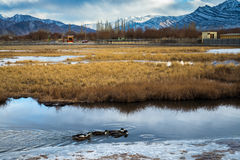 Frozen pond duck geese. Landscape of frozen pond with duck geese Royalty Free Stock Photography