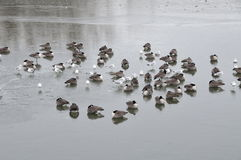 Frozen pond. Ducks and sea gull sitting on frozen pond during winter Royalty Free Stock Photography