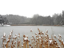 Frozen pond. With golden grass Stock Image