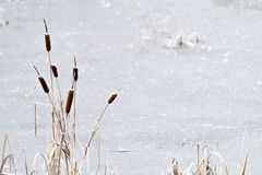Free Frozen Pond With Cattails Royalty Free Stock Images - 35425569
