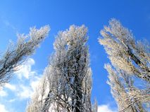 Frozen poplar tree. Three frozen poplar trees with snow stock photos