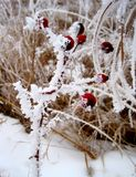 Frozen Prairie Berries Stock Image