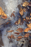 A frozen puddle with dried orange fallen leaves partially covered in ice Royalty Free Stock Images