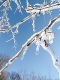 Frozen Rain Branches Stock Image
