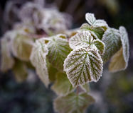 Frozen rasberry leaves Royalty Free Stock Image
