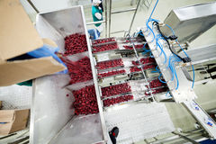 Frozen raspberry processing business Stock Photography