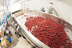 Frozen raspberry processing business Royalty Free Stock Photography