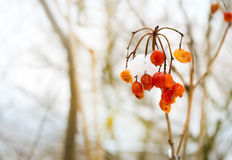 Frozen red ash. Berry on snowy tree branch stock images